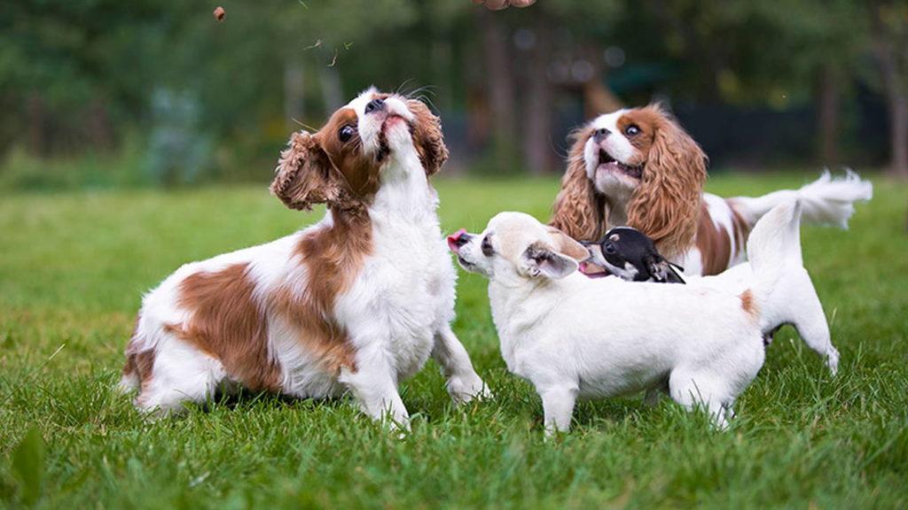 hodowla psów rasowych etruria polonia fci warszawa Chihuahua, Cavalier King Charles Spaniel, Golden Retriever, Pinczer Miniaturowy, Fila Brasileiro