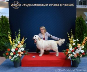 Golden Retriever YOKO Gordius Poland FCI