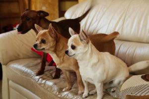Chihuahua krótkowłosy BALTAZAR Kociokwik FCI-1