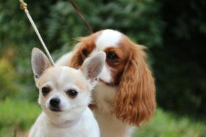 Chihuahua krótkowłosy BALTAZAR Kociokwik FCI