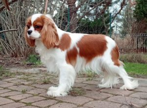 Cavalier King Charles Spaniel FOLLOW THE ANGELS Górska Fantazja FCI 3