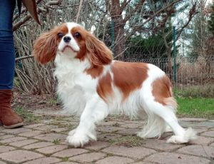 Cavalier King Charles Spaniel FOLLOW THE ANGELS Górska Fantazja FCI